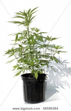 Medical Marijuana plant in a black plastic 1 gallon grow pot, isolated on white with room for your text. Marijuana aka Pot, Dope, Mary Jane, loco weed, etc. is an important plant on earth.