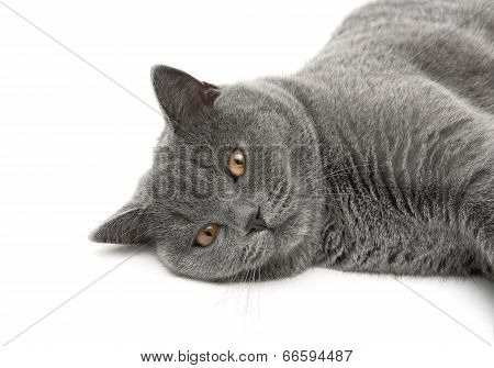 Cat (breed Scottish-straight, Age 6.5 Months) On White Background