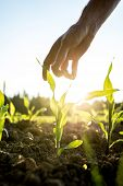 picture of early-man  - Male hand reaching down to a young maize plant growing in an agricultural field backlit by a bright early morning sunlight with sun flare around the plant and hand.