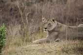 stock photo of lioness  - african lioness into the wilde in african savannah - JPG