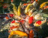 image of koi  - koi carp fishes in the pond of Phuket Botanical Garden at Phuket island Thailand - JPG