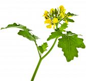 pic of cruciferous  - White mustard plant flowering close up   - JPG