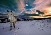 Dartmoor Pony Walking In Snow