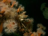stock photo of camoflage  - Well Camoflaged Spider Crab peers out from amongst the Anemones - JPG