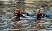picture of crested duck  - Two male red - JPG