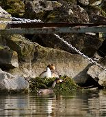 foto of grebe  - Male and female crested grebe ducks  - JPG