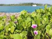 foto of ipomoea  - Beach Morning Glory (Ipomoea) flower.Kood island Thailand