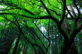 picture of redwood forest  - California Redwood Forests in Norther California Forest - JPG