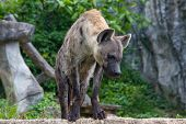 picture of hyenas  - Close - JPG