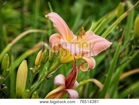 Pink Daylily Flowers