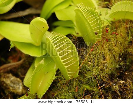 Carnivorous plant Dionae