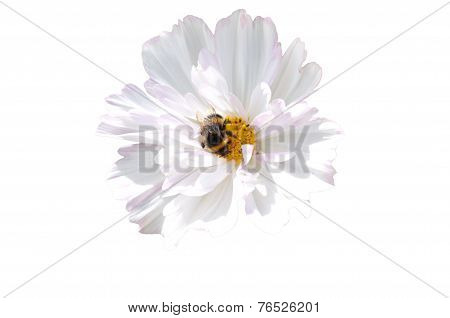isolated bumblebee on white flower