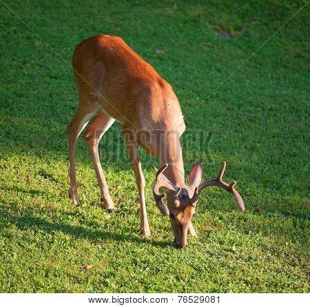 Eating Buck