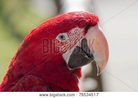 Portrait Of A Scarleet Macaw