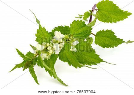 Blooming Stinging Nettle