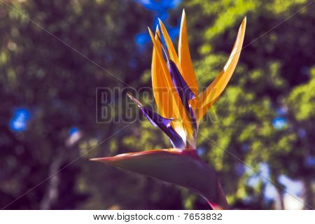 Ave do paraíso - strelitzia Reginae