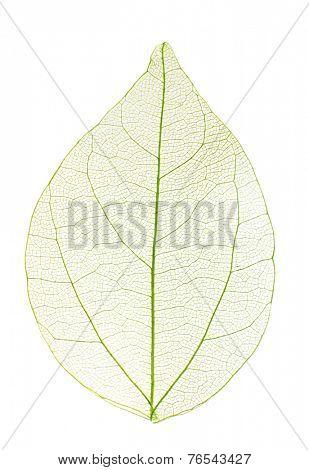 Decorative skeleton leaf isolated on white