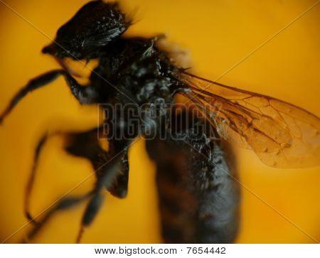 Petrified Bee On Amber