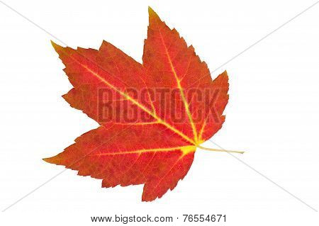 Fall Red Maple Leaf Isolated