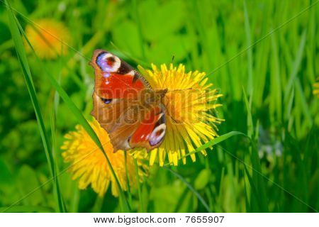 Beautiful Butterfly And Yellow Dandelion.