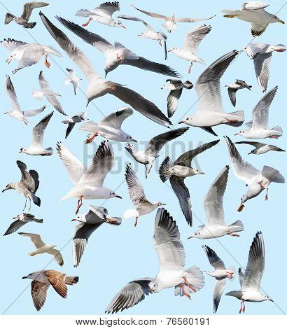 Marine Gulls