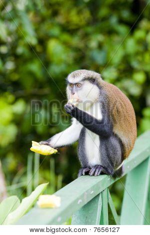 monkey with banana in Grand Etang National Park Grenada