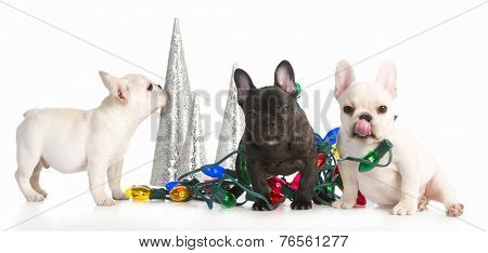 christmas puppies - three french bulldog puppies tangled up in colorful christmas lights on white background