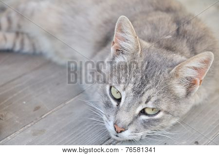 Gray Dozy Cat
