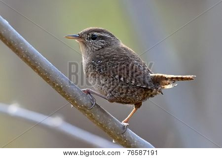 Winter wren in natural habitat ( Troglodytes troglodytes )