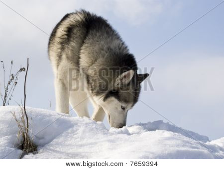 Picture Of A Siberian Husky