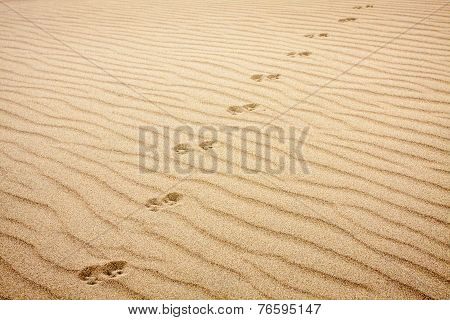 Animal Tracks in Rippled Sand