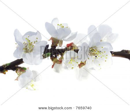 Pflaumenbaum Blumen
