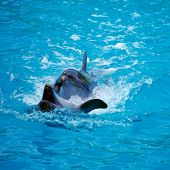stock photo of sochi  - Two dolphins close up - JPG