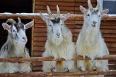 pic of cozy hearth  - Three goats standing behind a fence - JPG
