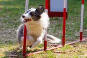 stock photo of herding dog  - Agility dog with a bluemerle border collie - JPG