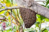 pic of swarm  - A giant honey bee swarm hanging from tree branch - JPG
