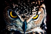 pic of small-hawk  - Small European owl nocturnal bird of prey with hawk - JPG