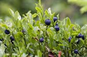 stock photo of bearberry  - Close - JPG