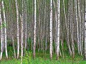 stock photo of alder-tree  - Birch is a broadleaved deciduous hardwood tree of the genus Betula - JPG
