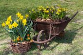stock photo of wheelbarrow  - Spring daffodil flowers in the wheelbarrow and basket.