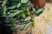 stock photo of manger  - green olives on branch with green leaves lying in the hay manger hay - JPG