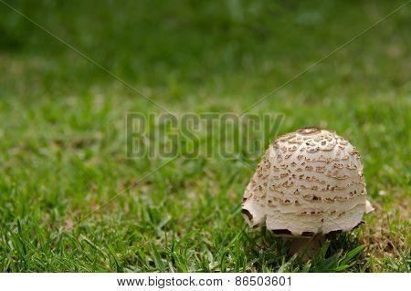 Solitary Mushroom On Lawn