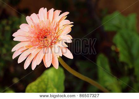 Beautiful Gerbera Flower In Garden At The Park