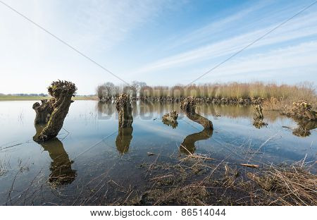 Pollard Willows Reflected In Mirror Smooth Water Surface