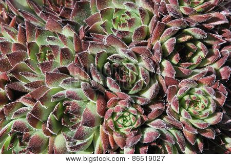 Group of Sempervivum