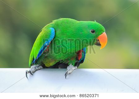 Beautiful Sun Conure Parrot bird perching on a bars on green background