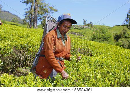 Female Worker in Tea Field, Sri Lanka