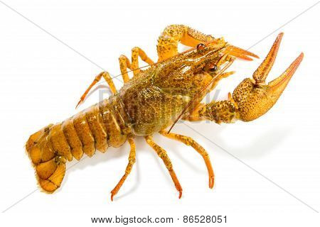 Crayfish Isolated