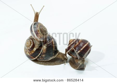 Snail Isolated On White Background. Close-up View