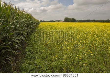 Yellow flowering oilseed rape in the Netherlands